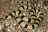 EEB Colubroidae Colubridae<br /> Chionactis occipitalis annulata<br /> Colorado Desert Shovel Nosed Snake<br /> San Diego County<br /> 2013 Specimen #4
