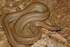 ED Booidea Boidae Charinidae<br /> Lichanura orcutti<br /> Three Lined Rosy Boa<br /> San Diego County