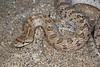 EEB Colubroidae Colubridae<br /> Arizona occidentalis occidentalis <br /> California Glossy Snake<br /> San Diego County<br /> 2015