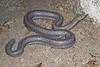 ED Booidea Boidae Charinidae<br /> Lichanura orcutti<br /> Three Lined Rosy Boa<br /> San Diego County (Yaqui Pass)<br /> 2015