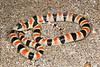 EEB Colubroidae Colubridae<br /> Chionactis occipitalis annulata<br /> Colorado Desert Shovel Nosed Snake<br /> San Diego County<br /> 2015 <br /> Specimen #1