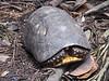 F Cryptodira Testudinoidea Testudinidae<br /> Chelonoidis carbonarius<br /> Red-footed Tortoise<br /> 2017