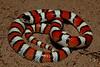 EEB Colubroidae Colubridae<br /> Lampropeltis gentilis<br /> Central Plains Milk Snake<br /> Weld County<br /> Specimen #1<br /> 2013