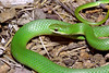 EEB Colubroidae Colubridae<br /> Opheodrys vernalis<br /> Smooth Green Snake<br /> Jefferson County
