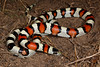 EEB Colubroidae Colubridae<br /> Lampropeltis gentilis<br /> Central Plains Milk Snake<br /> Weld County<br /> 2016