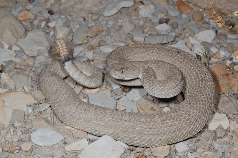 EL Colubroidea Viperidae Crotalinae<br /> Crotalus Concolor<br /> Midget Faded Rattlesnake<br /> Garfield County<br /> 2016<br /> Specimen #2