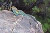 DA Iguania Iguanidae Crotaphydidae<br /> Crotaphytus collaris <br /> Eastern Collared Lizard<br /> Mesa County