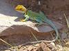 DA Iguania Iguanidae Crotaphydidae<br /> Crotaphytus collaris <br /> Eastern Collared Lizard<br /> Mesa County (Southern)<br /> 2015