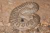 EL Colubroidea Viperidae Crotalinae<br /> Crotalus Concolor<br /> Midget Faded Rattlesnake<br /> La Plata County<br /> 2014