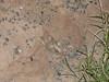 EL Colubroidea Viperidae Crotalinae<br /> Crotalus Concolor<br /> Midget Faded Rattlesnake<br /> Mesa County<br /> Specimen #1<br /> 2014