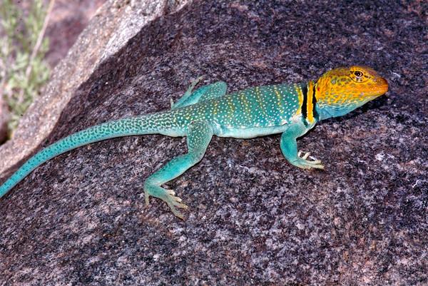 DA Iguania Iguanidae Crotaphydidae Crotaphytus collaris  Eastern Collared Lizard Mesa County