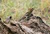 DA Iguania Iguanidae Corytophanidae <br /> Basiliscus vittatus<br /> Striped Basilisk<br /> 2006
