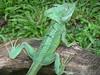 DA Iguania Iguanidae Corytophanidae <br /> Basiliscus plumifrons<br /> Emerald Basilisk<br /> 2006