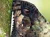 DA Iguania Iguanidae Corytophanidae <br /> Corytophanes cristatus<br /> Helmeted Basilisk<br /> Rio Palmas