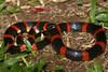 EEB Colubroidea Colubridae Colubrinae<br /> Pliocercus euryzonus<br /> Cope's False Coral Snake<br /> Santa Cecilia