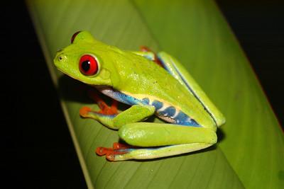 BC Hylidae Phyllomedusinae Agalychnis callidryas Red Eyed Leaf Frog Upala
