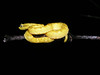 EL Colubroidea Viperidae Crotalinae<br /> Bothriechis schlegelii<br /> Eyelash Viper<br /> Oropel Phase<br /> Limon<br /> 2006