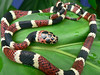 EEB Colubroidea Colubridae Colubrinae<br /> Rhinobothryum bovalii<br /> Costa Rican Tree Snake