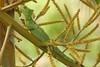DA Iguania Iguanidae Corytophanidae <br /> Basiliscus plumifrons<br /> Emerald Basilisk<br /> Siquirres<br /> 2006