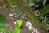 DA Iguania Iguanidae Corytophanidae <br /> Basiliscus plumifrons<br /> Emerald Basilisk<br /> Rio Palmas<br /> 2006