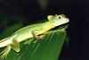 DA Iguania Iguanidae Corytophanidae <br /> Basiliscus plumifrons<br /> Emerald Basilisk<br /> Rio Palmas