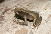BA Bufonidae<br /> Rhaebo haematiticus<br /> Smooth Skinned Toad<br /> 2006