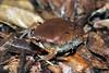 BF Microhylidae Gastrophryninae<br /> Hypopachus variolosus<br /> Sheep Frog<br /> Santa Rosa