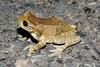 BC Hylidae Hylinae<br /> Trachycephalus typhonius<br /> Pepper Treefrog/Milky Treefrog<br /> 2006
