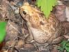 BA Bufonidae<br /> Rhinella horribilis<br /> Giant Toad<br /> 2006