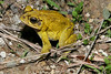 BA Bufonidae<br /> Incilius luetkenii<br /> Yellow Toad<br /> 2006