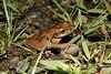 BC Hylidae Hylinae<br /> Smilisca sordida<br /> Drab Treefrog<br /> 2006