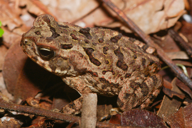 BA Bufonidae<br /> Incilius coccifer<br /> Dry Forest Toad<br /> 2006
