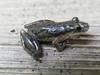 BC Hylidae Hylinae<br /> Scinax staufferi <br /> Stauffer's longnosed treefrog<br /> 2006