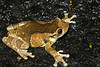 BC Hylidae Hylinae<br /> Trachycephalus typhonius<br /> Pepper Treefrog/Milky Treefrog