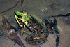 BD Ranidae<br /> Rana (Lithobates) vaillanti<br /> Rainforest Frog<br /> Guanacaste