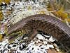 DD Diploglossa Anguidae Gerrhonotinae<br /> Mesaspis monticola<br /> Montane Alligator Lizard <br /> Female