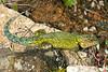 DA Iguania Iguanidae Phrynosomatidae <br /> Sceloporus malachiticus<br /> Green Spiny Lizard<br /> 2006