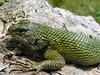 DA Iguania Iguanidae Phrynosomatidae <br /> Sceloporus malachiticus<br /> Green Spiny Lizard