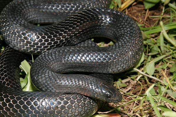 EEB Colubroidea Colubridae Colubrinae Lampropeltis triangulum gaigae Black Milk Snake Poas 2006