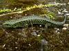 DD Diploglossa Anguidae Gerrhonotinae<br /> Mesaspis monticola<br /> Montane Alligator Lizard <br /> Male<br /> 2006