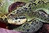 EL Colubroidea Viperidae Crotalinae<br /> Bothriechis nigroviridis<br /> Black and Green Palm Viper