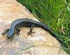 DD Diploglossa Anguidae Gerrhonotinae<br /> Mesaspis monticola<br /> Montane Alligator Lizard