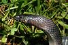 EEB Colubroidea Colubridae Colubrinae<br /> Lampropeltis triangulum gaigae<br /> Black Milk Snake<br /> Poas<br /> 2006