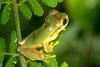 BC Hylidae Hylinae<br /> Smilisca phaeota<br /> Masked Treefrog<br /> Dominical <br /> 2006
