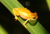 BC Hylidae Hylinae<br /> Dendropsophus microcephalus<br /> Small Headed Treefrog<br /> Dominical<br /> 2006
