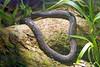 AA Dermophiidae<br /> Gymnopis multiplicata<br /> Purple Caecilian<br /> Osa Peninsula