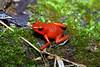 BE Dendrobatidae Dendrobatinae<br /> Oophaga granulifera <br /> Granular Poison Frog<br /> Dominical<br /> 2006