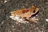 BC Hylidae Hylinae<br /> Boana rosenbergi <br /> Gladiator Treefrog<br /> Dominical<br /> 2006