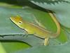 DA Iguania Iguanidae Dactyloidae<br /> Anolis porcatus<br /> Cuban Green Anole<br /> Havana, Cuba<br /> Specimen #1 Female<br /> 2015
