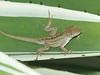 DA Iguania Iguanidae Dactyloidae<br /> Anolis homolechis homolechis<br /> Cuban White-Fanned Anole<br /> Havana, Cuba<br /> Specimen #2<br /> 2015